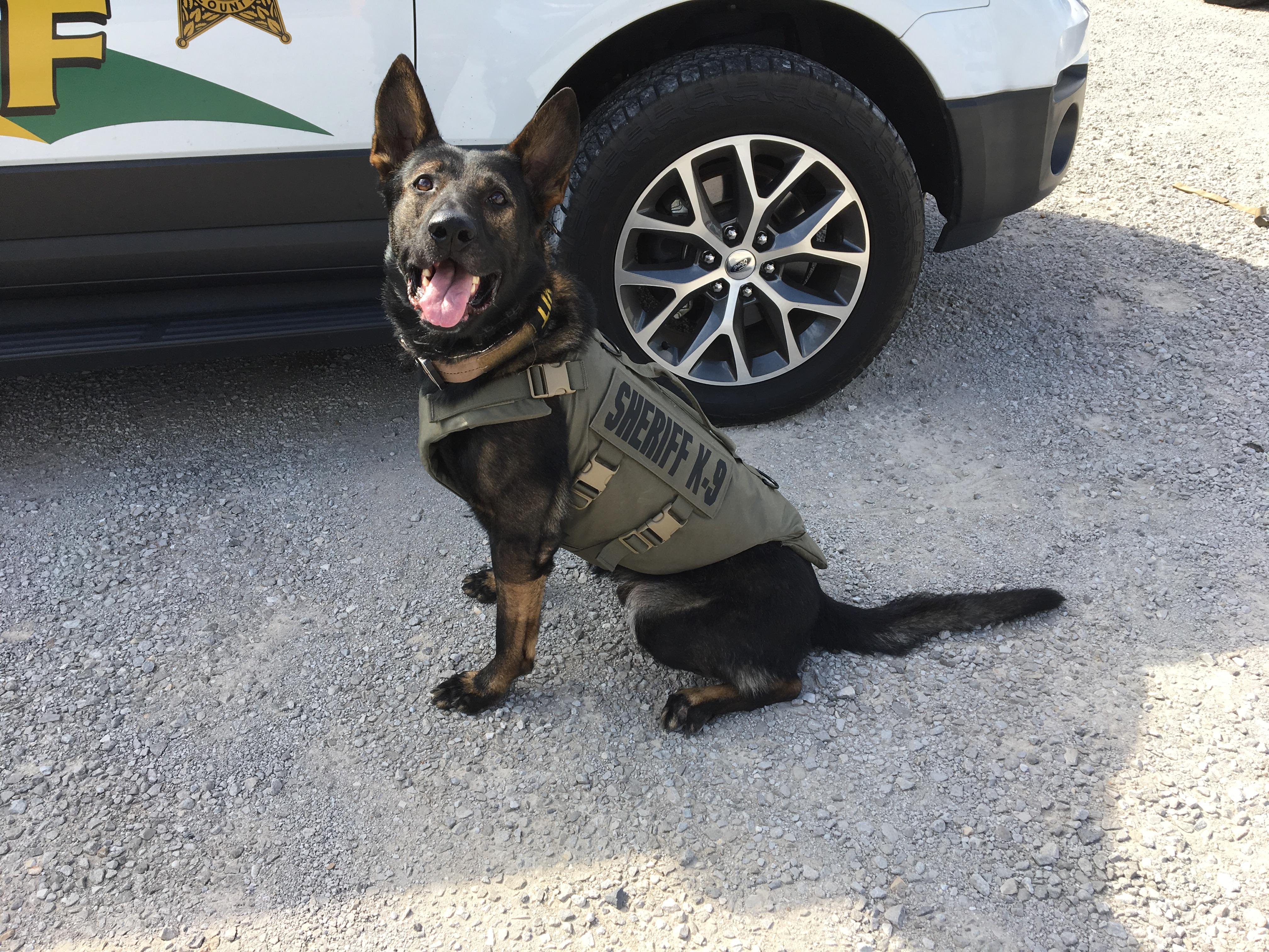 Dog with bullet proof vest