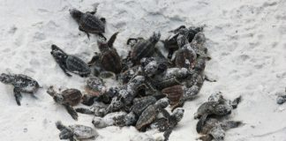 baby turtles on beach sand