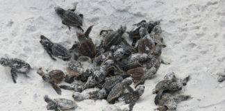 baby turtles in white sand