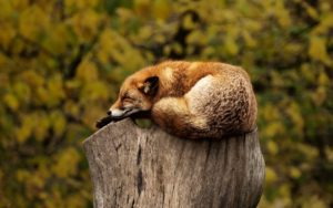 wild fox sleeping on a wood stump