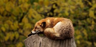wild fox sleeping on a wood stump