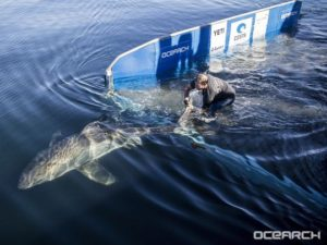 shark handler tagging a shark while in the water