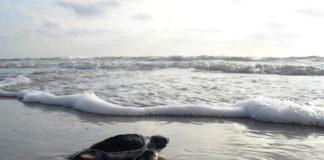 sea turtle on beach walking toward water