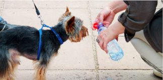 small dog being given water