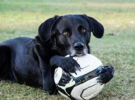 dog holding a soccer ball