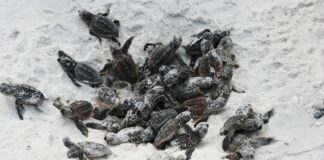 baby sea turtles on the beach