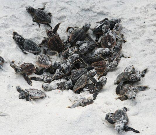 baby sea turtles on the beach