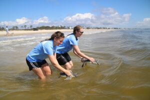 Two turtles being released at a beach