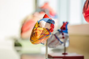 Model of a heart in a classroom